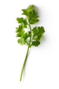 sprig of cilantro on a white background